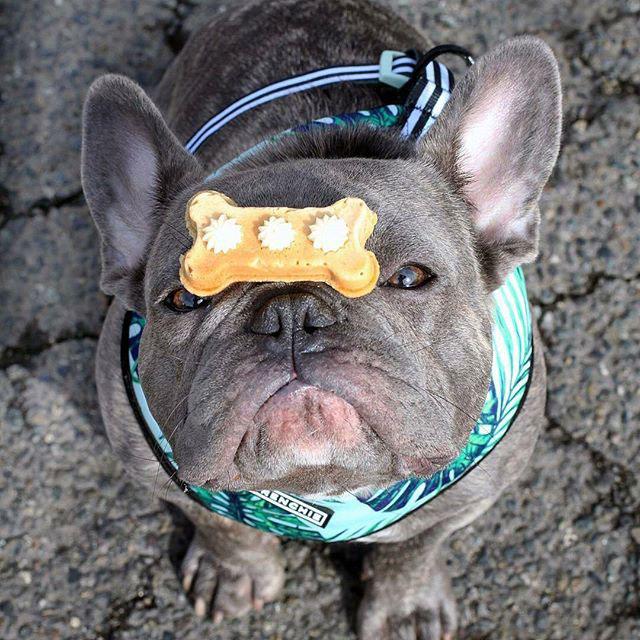 frenchie-dog-treats