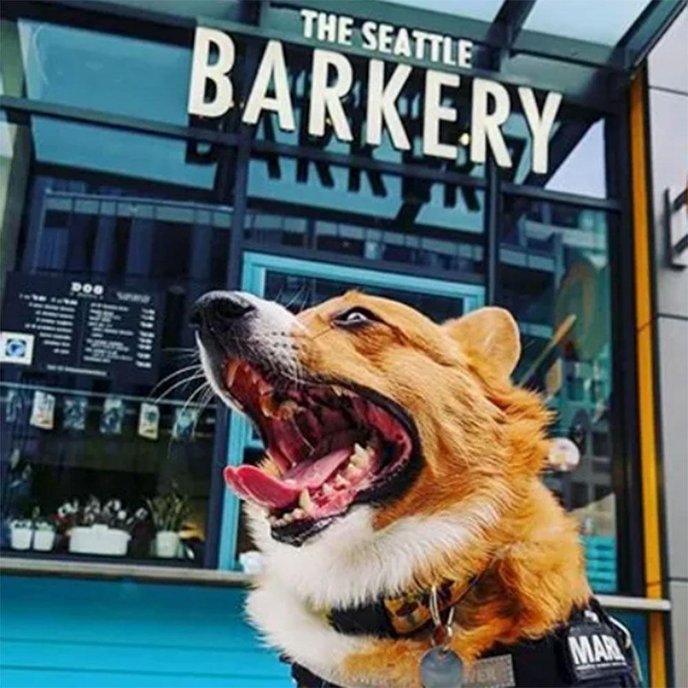 Cute Corgi at Seattle's premier dog treat shop in South Lake Union, Puget Sound